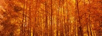Aspen trees at sunrise in autumn, Colorado (horizontal) Fine-Art Print