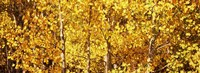 Aspen trees with yellow foliage, Colorado, USA Fine-Art Print