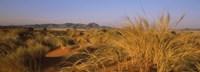 Grass growing in a desert, Namib Rand Nature Reserve, Namib Desert, Namibia Fine-Art Print