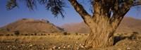 Camelthorn tree (Acacia erioloba) with mountains in the background, Brandberg Mountains, Damaraland, Namib Desert, Namibia Fine-Art Print