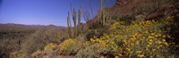 Organ Pipe cactus and yellow wildflowers, Arizona Fine-Art Print
