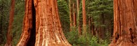 Giant sequoia trees in a forest, California, USA Fine-Art Print