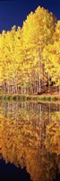 Reflection of Aspen trees in a lake, Telluride, San Miguel County, Colorado, USA Fine-Art Print