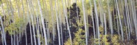 Aspen trees in a forest, Aspen, Pitkin County, Colorado, USA Fine-Art Print