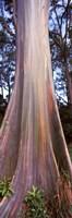 Rainbow eucalyptus (Eucalyptus deglupta) tree, Hana Highway, Maui, Hawaii, USA Fine-Art Print