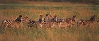 Burchell's zebras (Equus quagga burchellii) in a forest, Masai Mara National Reserve, Kenya Fine-Art Print