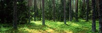 Pine forest, Uppland, Sweden Fine-Art Print