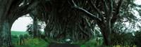Trees at the Dark Hedges, Armoy, County Antrim, Northern Ireland Fine-Art Print