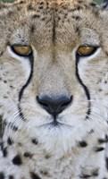 Close-up of a cheetah (Acinonyx jubatus), Tanzania Fine-Art Print