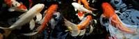 Koi Carp swimming underwater Fine-Art Print