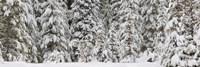 Snow covered pine trees, Deschutes National Forest, Oregon, USA Fine-Art Print