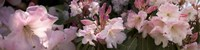 Multiple images of pink Rhododendron flowers Fine-Art Print