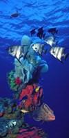 Spadefishes with Nassau Grouper (Epinephelus striatus) and a Hawksbill Turtle (Eretmochelys Imbricata) swimming underwater Fine-Art Print