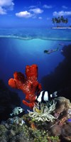 Underwater view of sea anemone and Humbug fish and Pufferfish with a scuba diver Fine-Art Print