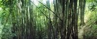 Bamboo forest, Chiang Mai, Thailand Fine-Art Print