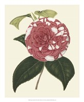 Antique Camellia II Fine-Art Print