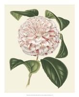 Antique Camellia III Fine-Art Print