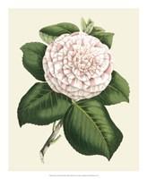Antique Camellia IV Fine-Art Print