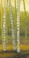 Sunny Birch Grove II Fine-Art Print