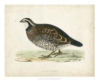 Morris Pheasants VI Fine-Art Print