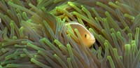 Close-up of a Skunk Anemone fish and Indian Bulb Anemone Fine-Art Print