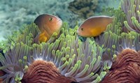 Two Skunk Anemone fish and Indian Bulb Anemone Fine-Art Print