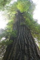 Low-Angle View Of Redwood Tree Fine-Art Print