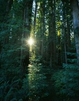 Low angle view of sunstar through redwood trees, Jedediah Smith Redwoods State Park, California, USA. Fine-Art Print