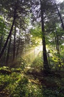 Sunbeams in dense forest, Great Smoky Mountains National Park, Tennessee, USA. Fine-Art Print