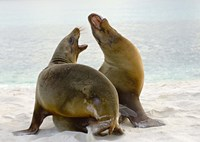 Two Galapagos sea lions (Zalophus wollebaeki) on the beach, Galapagos Islands, Ecuador Fine-Art Print