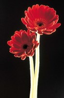 Close up of two deep red flowers with white stems on black background Fine-Art Print