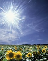 Bright burst of white light above field of sunflowers Fine-Art Print