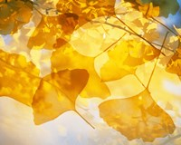 Selective focus close up of golden yellow autumn leaves Fine-Art Print