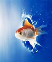 Orange, yellow and white fish flying through water splash Fine-Art Print