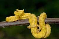 Close-up of an Eyelash viper (Bothriechis schlegelii), Arenal Volcano, Costa Rica Fine-Art Print