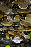 Close-up of a Boa Constrictor, Arenal Volcano, Costa Rica Fine-Art Print
