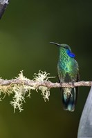 Close-up of a Green Violetear hummingbird (Colibri thalassinus) perching on branch, Savegre, Costa Rica Fine-Art Print