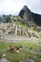 High angle view of Llama (Lama glama) with Incan ruins in the background, Machu Picchu, Peru Fine-Art Print