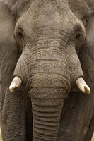 Close-up of an African elephant (Loxodonta africana) trunk, Lake Manyara, Tanzania Fine-Art Print