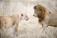 Lion and a lioness (Panthera leo) standing face to face in a forest, Ngorongoro Crater, Ngorongoro, Tanzania Fine-Art Print