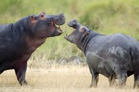 Two hippopotamuses (Hippopotamus amphibius) sparring in a forest, Ngorongoro Crater, Ngorongoro, Tanzania Fine-Art Print