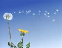 Dandelion (Taraxacum officinale) seeds blowing in the air Fine-Art Print