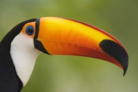 Close-up of a Toco toucan (Ramphastos toco), Three Brothers River, Meeting of the Waters State Park, Pantanal Wetlands, Brazil Fine-Art Print