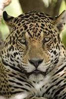 Close-up of a Jaguar (Panthera onca), Three Brothers River, Meeting of the Waters State Park, Pantanal Wetlands, Brazil Fine-Art Print