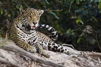 Jaguar (Panthera onca) snarling, Three Brothers River, Meeting of the Waters State Park, Pantanal Wetlands, Brazil Fine-Art Print