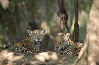 Jaguars (Panthera onca) resting in a forest, Three Brothers River, Meeting of the Waters State Park, Pantanal Wetlands, Brazil Fine-Art Print