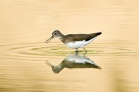 Close-up of a Wood sandpiper (Tringa glareola) in water, Keoladeo National Park, Rajasthan, India Fine-Art Print