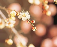 Cherry blossom in selective focus Fine-Art Print
