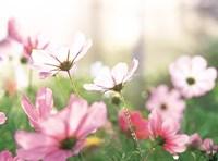 Pink flowers in meadow Fine-Art Print
