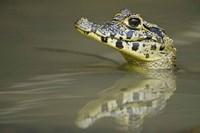Close-up of a caiman in lake, Pantanal Wetlands, Brazil Fine-Art Print